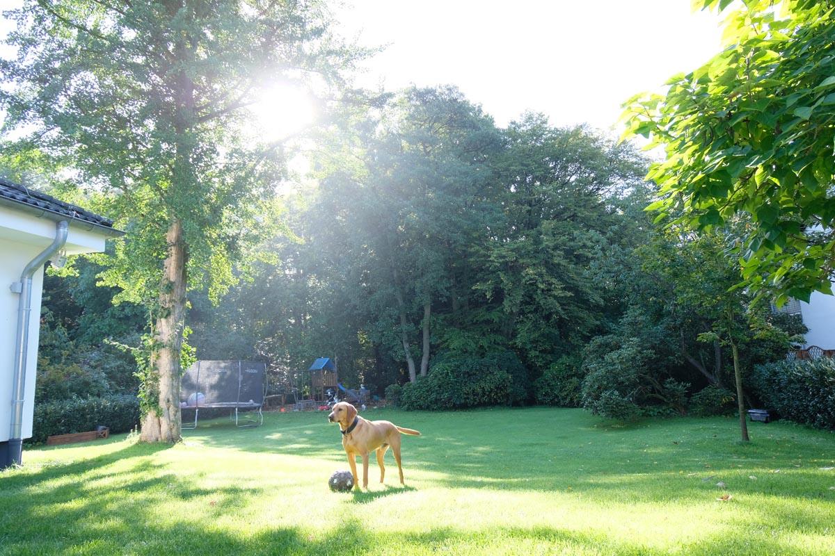 Barney der Hund spielt im Garten mit einem Ball.